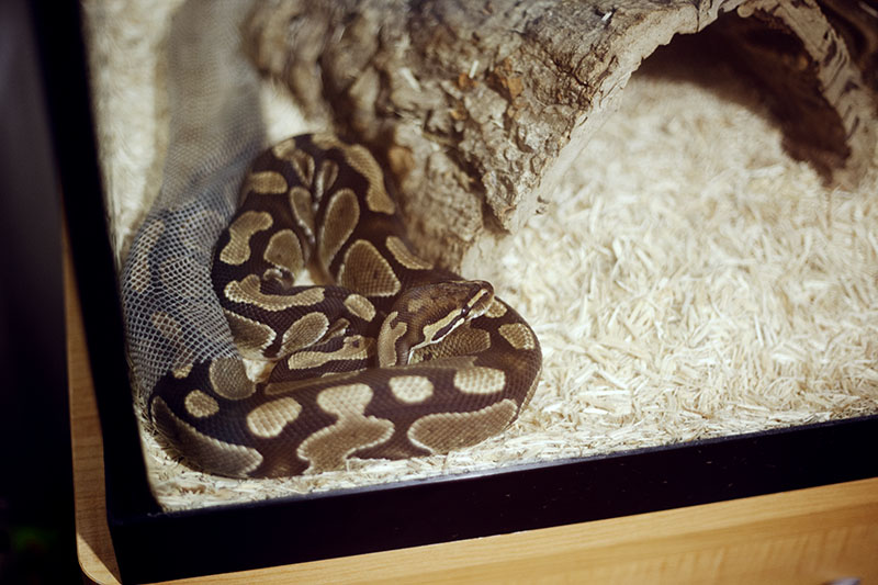 royal python removing dead skin