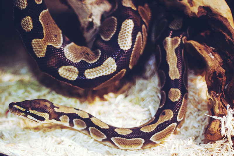 royal python smelling with tongue