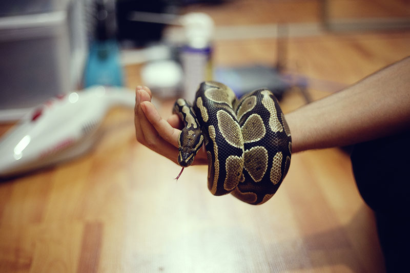 Nighttime Play Date My Pet Python