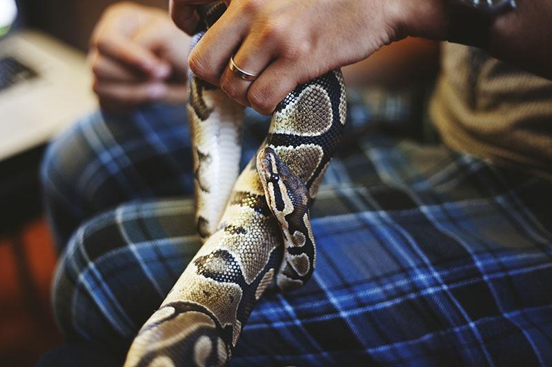 handling ball python