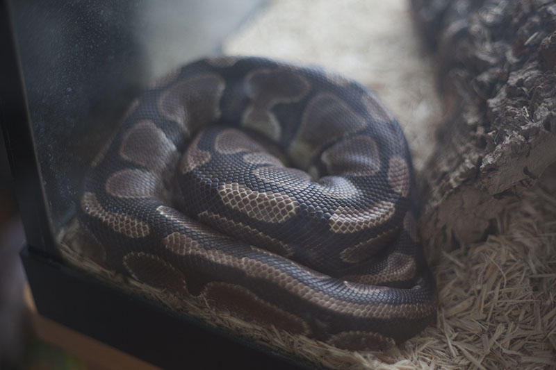 ball python sleeping outside of hide before shed
