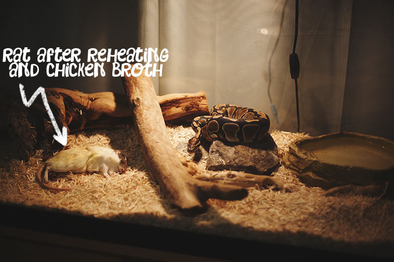 ball python refusing food