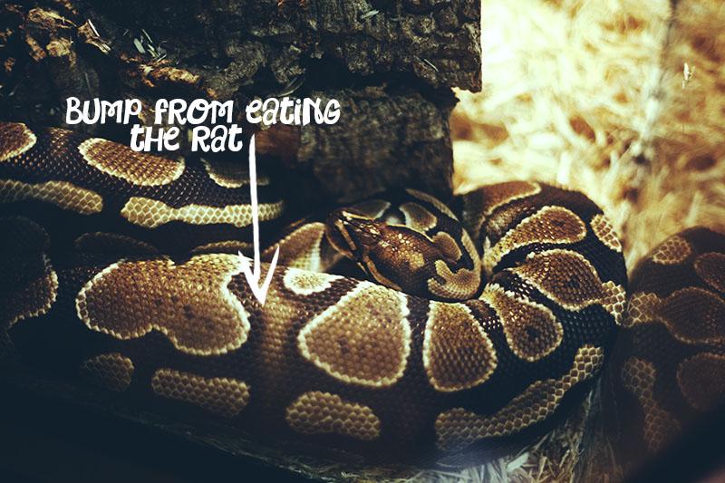 ball python bump after eating rat