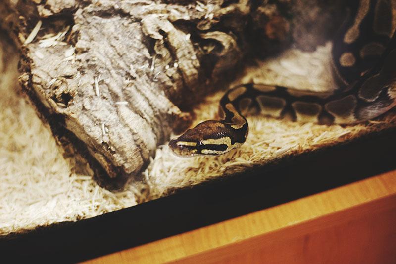 ball python slithering
