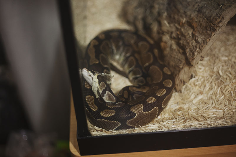 royal python sheds skin