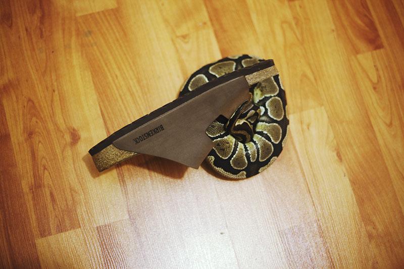 ball python in birkenstock sandal