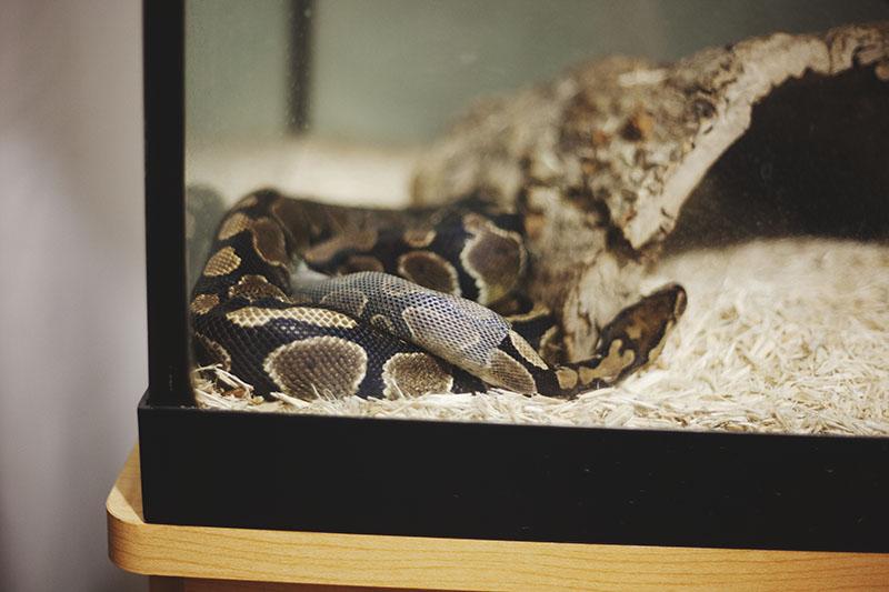 python regius sheds skin