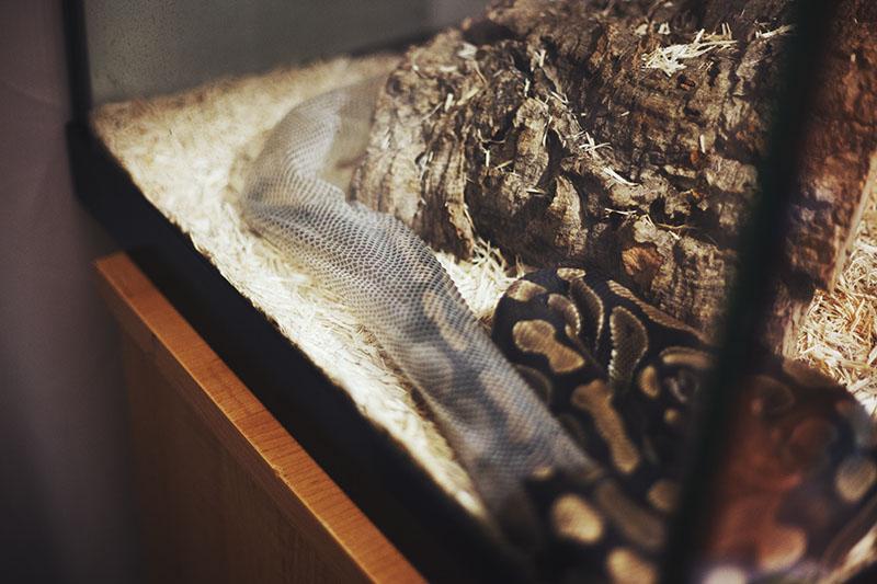 royal python shedding process