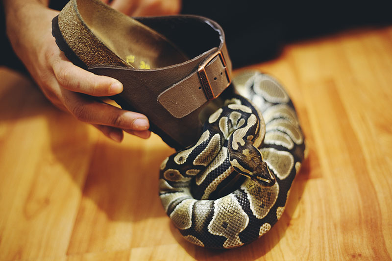 royal python on birkenstock shoe