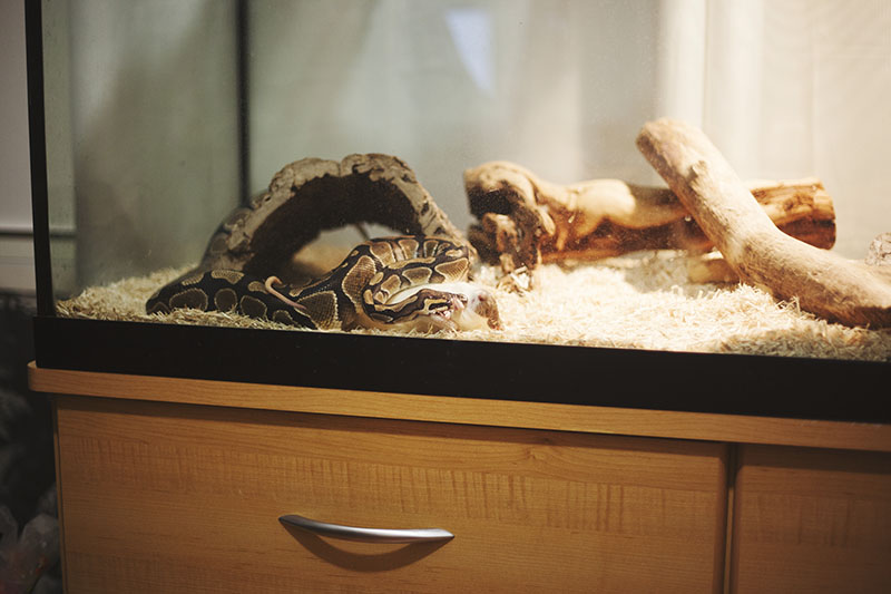 royal python next to food