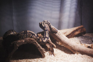 Are There Visible Symptoms of Salmonella in Snakes?