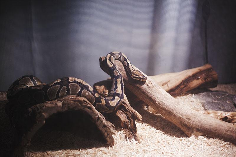 lethargy snake salmonella symptom