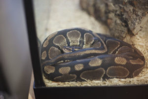 ball-python-blue-eye