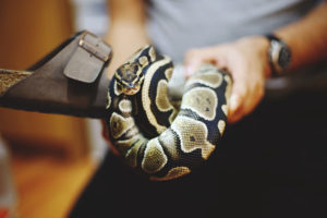 ball-python-on-shoe