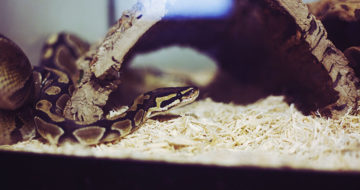How Dangerous is a Snake With Salmonella?