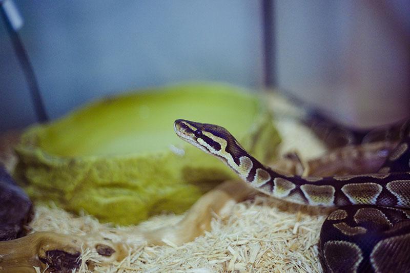 my pet python