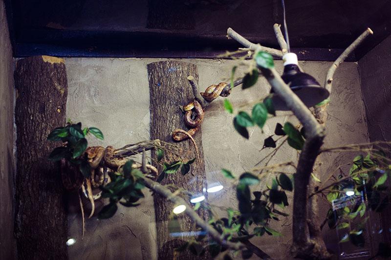 pantherophis guttatus