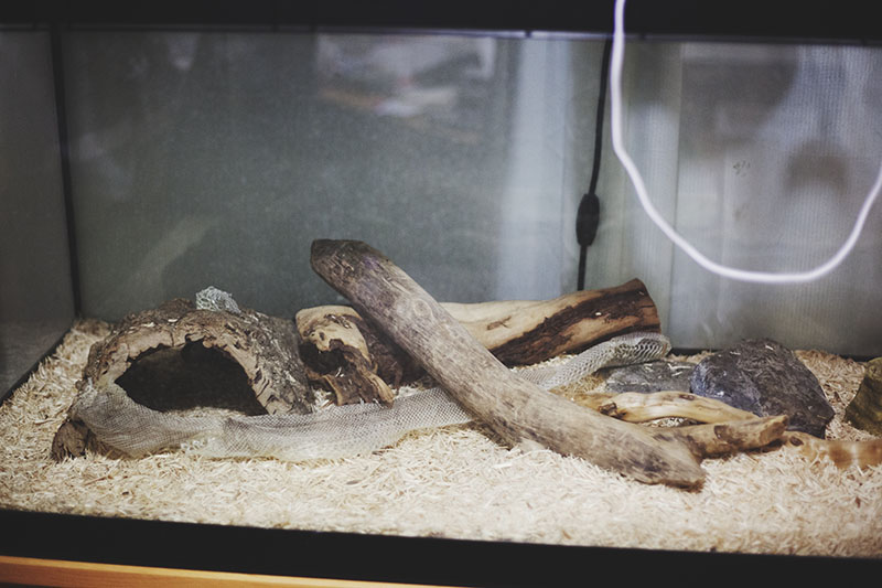 ball python shed in terrarium