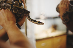 holding-ball-python-to-mirror