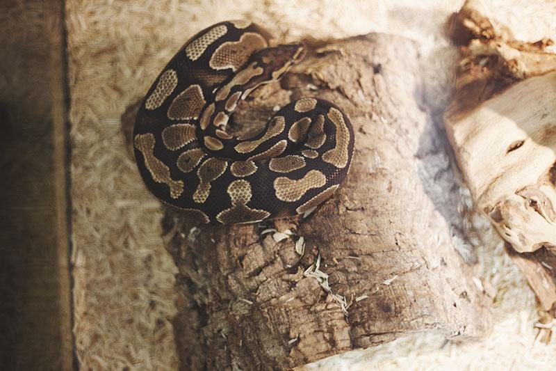 ball python salmonella symptom lethargy