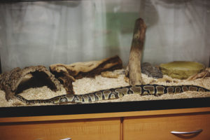 outstretched-ball-python
