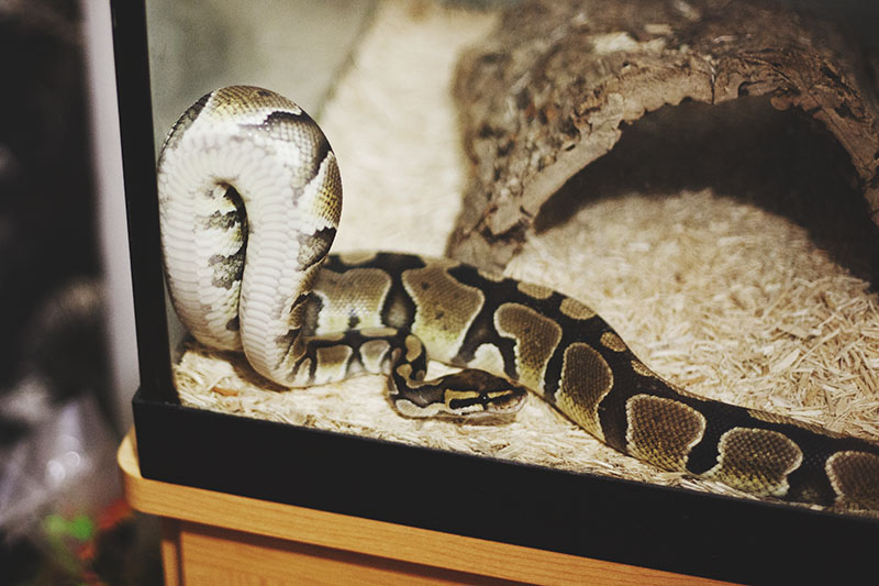 how to choose a pet ball python