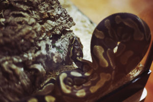 python-in-tank