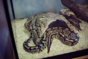 royal-python-playing-on-hide