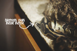 Slithering Out of Her Skin: Photographs of a Ball Python Shedding