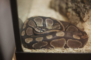 How Long Do Ball Pythons Take to Shed?