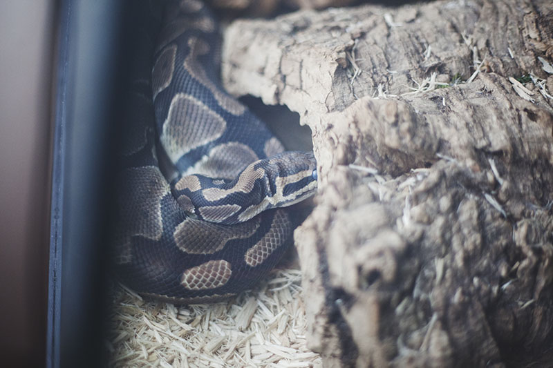 Signs That a Ball Python is Going to Shed