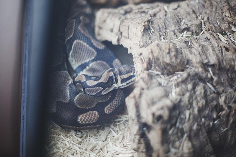 pre-shed royal python