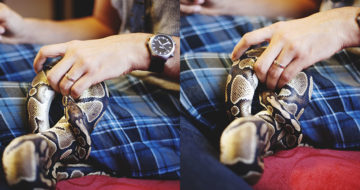 ball-python-knot