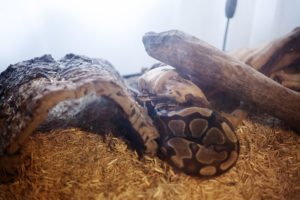 ball-python-sleeping-outside-hide