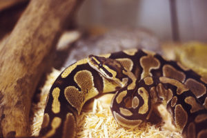 What's the Difference Between a Ball Python and a Royal Python?