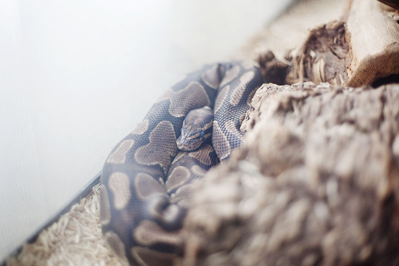 python regius getting ready to shed