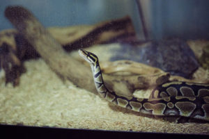 ball-python-aggressive-or-not