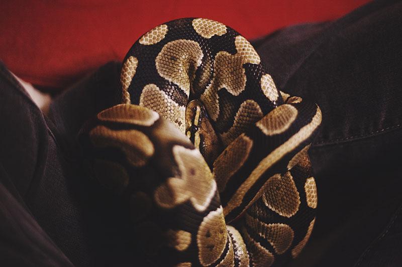 pet ball python sitting in lap