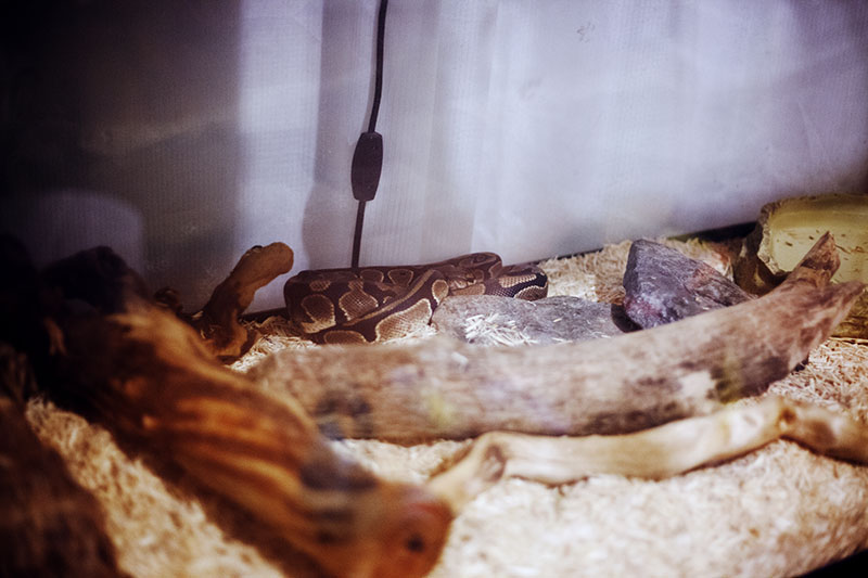 royal python pre-shedding ritual