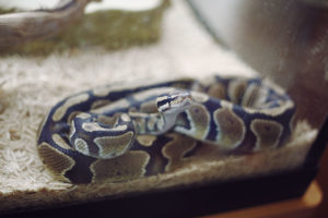 ball-python-pet-care