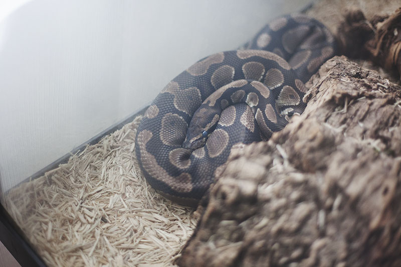 royal python blue eyes before shedding