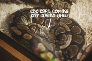 eye-caps-coming-off-during-shed