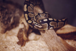 Pros and Cons of Getting a Pet Ball Python