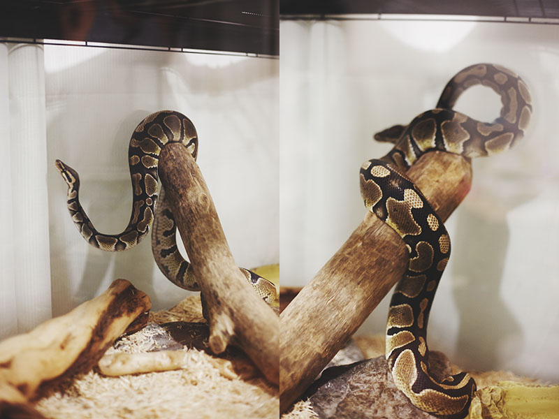 ball python acrobatics on log