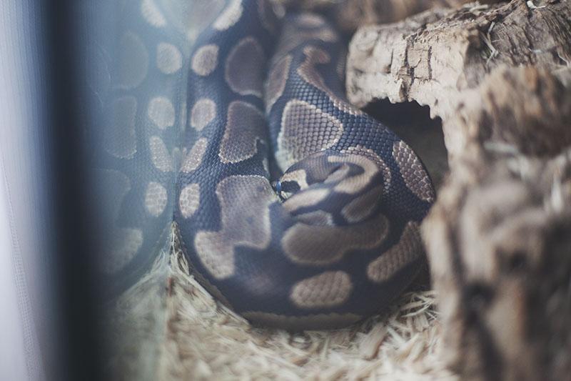 royal python resting and lethargic