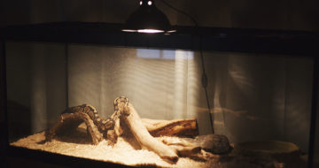 What Causes Lethargy in Ball Pythons?