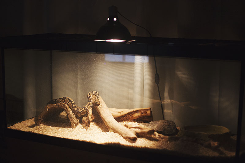 cold royal python warming up under heat lamp