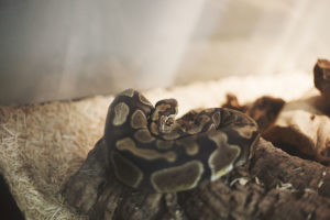 Why Are Female Ball Pythons More Expensive Than Male Ball Pythons?