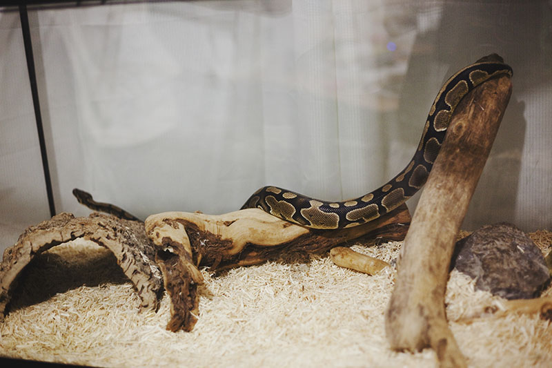 How Large Do Ball Pythons Get?