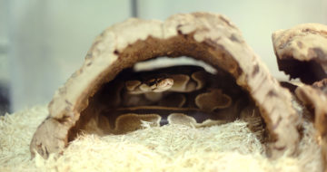 Will Ball Pythons Eat Another Ball Python?